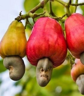 林静的航海故事之奇异的腰果和巴西莓