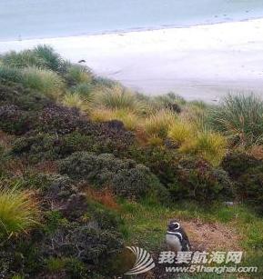 我们在南大西洋的福克兰群岛(英属)也称马尔维纳斯群岛,这里也有企鹅。 15.png