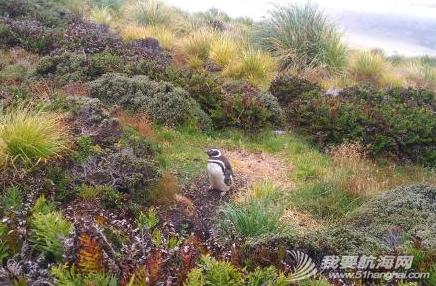 我们在南大西洋的福克兰群岛(英属)也称马尔维纳斯群岛,这里也有企鹅。 16.png