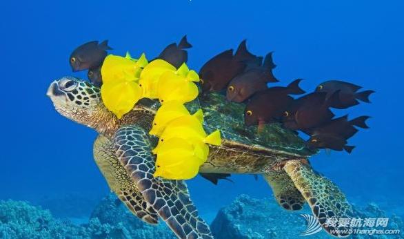 """在夏威夷海底一群颜色鲜艳的小黄鱼会为每一只绿海龟进行""""清洗"""" 27.png"""