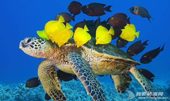 """在夏威夷海底一群颜色鲜艳的小黄鱼会为每一只绿海龟进行""""清洗"""" 28.png"""