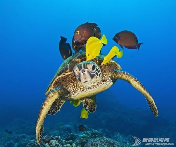 """在夏威夷海底一群颜色鲜艳的小黄鱼会为每一只绿海龟进行""""清洗"""" 29.png"""