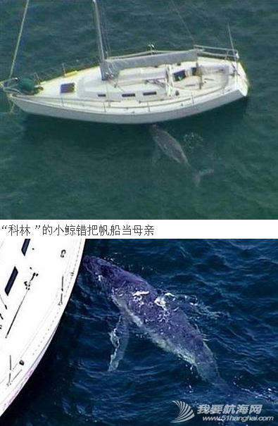 """巴恩斯,威尔士,大公报,座头鲸,澳洲人 """"科林""""的小鲸错把帆船当母亲 2.png"""