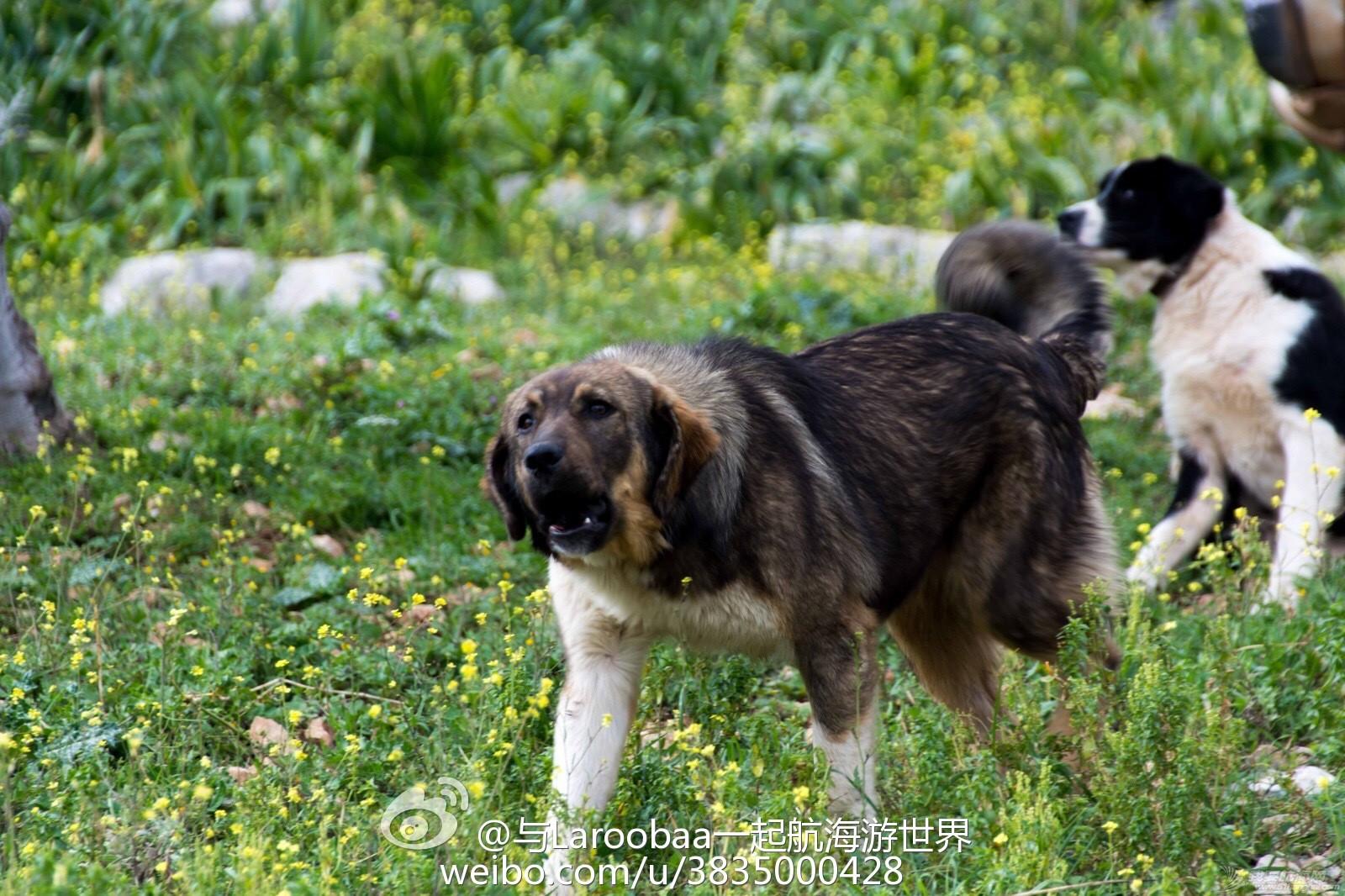 希腊,牧羊犬,宠物狗,牧羊人,石灰岩 参观希腊著名的迪迪玛教堂岩洞遭遇牧羊犬 e495766cjw1eq74u1ij8bj218g0tmqie.jpg