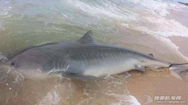 男子钓到4米长虎鲨 a1549fd2e410c2f.jpg