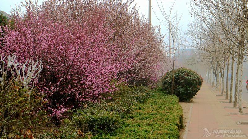 志愿者,樱花 我的志愿者生活043:樱花盛开中的十八期学员。 16040107.jpg