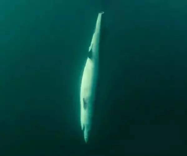 拯救鲨鱼从我做起!没有买卖,就没有杀害!蓝途邀你一起行动! 7e2fd12be20e57b1a625de86af0baae0.jpg