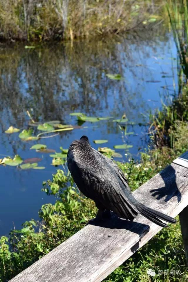 迈阿密邮轮旅游的周边地区的景点二:大沼泽地公园 9543ec73e25f23e5aeea3b5d1a1fa5da.jpg