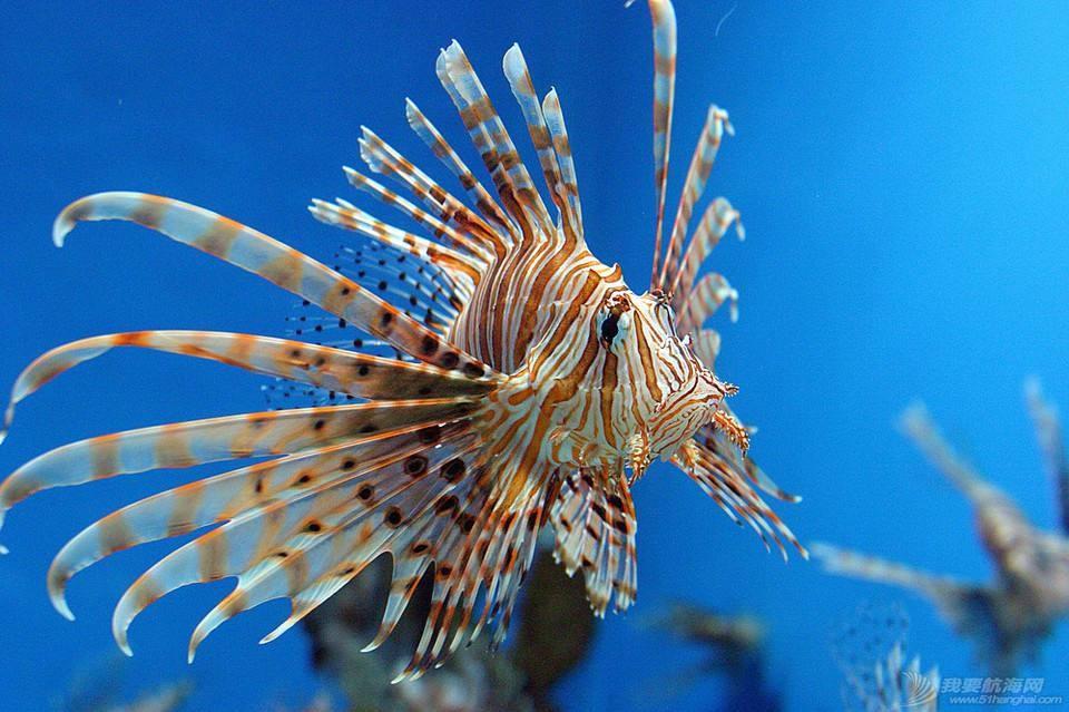 钓鱼爱好者必看,线纹鳗鲶,石头鱼,浔仔鱼,河豚 常见几种有毒的海鱼(钓鱼爱好者必看)
